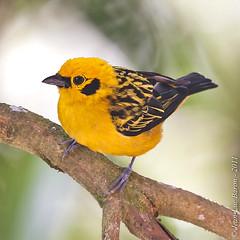 Golden Tanager (Tangara arthus) (Jeluba) Tags: bird nature canon ecuador aves ornithology birdwatching oiseau neotropical tangaraarthus goldentanager goldwildlife callistedoré goldtangare