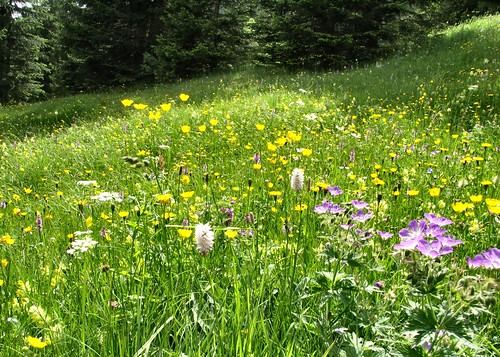Meadow Flowers in the Swiss Alps
