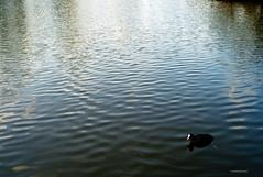 Wasserhuhn (rolle@bassfire) Tags: leica nature pond natur m8 teich coot wasserhuhn
