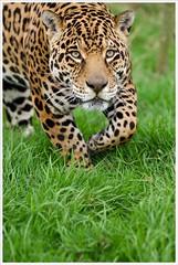 Ares - Jaguar (Jas Mahal) Tags: animal cat zoo nikon bigcat jaguar naure ares lightroom nikon70200mm whf flickrbigcats nikond7000 ronin237