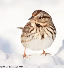 Sparrow in the snow (v4vodka) Tags: winter snow bird nature animal birdie wildlife birding sparrow birdwatching songsparrow melospizamelodia passerine