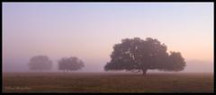 Foggy Oak Morning (Paul Marcellini) Tags: morning fog oak panoramic