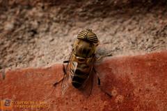 Eristalinus sp. (gustavo@morejon.ec) Tags: insect fly big ecuador eyes wildlife bee ojos vida grandes silvestre mosca cuenca mimetic syrphidae insecto diptera eristalinus azuay