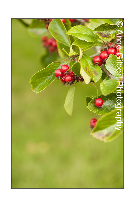 The World's Best Photos of crataegus and europe - Flickr