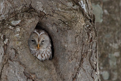 Another Owl in a hole pic - Ural Owl in Omuma.
