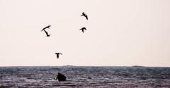 Pescando (carlosestebanor) Tags: sea sun fish colombia pelican islafuerte