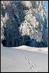 Animal Tracks in the Snow (mmoborg) Tags: winter snow cold kyla vinter sweden sverige snö dalarna 2012 koppången mmoborg mariamoborg