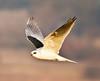 White-tailed Kite (Elanus leucurus) (kaeagles) Tags: california birds inflight fremont raptor coyotehills specanimal allofnatureswildlifelevel1 allofnatureswildlifelevel2 allofnatureswildlifelevel3 allofnatureswildlifelevel4 allofnatureswildlifelevel5 allofnatureswildlifelevel8 allofnatureswildlifelevel6 allofnatureswildlifelevel7 allofnatureswildlifelevel9 allofnatureswildlifelevel10 allofnatureswildlifelewvel6