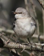 Mockingbird singing (AllHarts) Tags: nature mockingbird memphistn memphisbotanicgarden specanimal arealbeauty alittlebeauty pogchallengewinnershalloffa