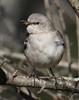 Mockingbird singing (AllHarts) Tags: nature mockingbird memphistn memphisbotanicgarden specanimal arealbeauty alittlebeauty pogchallengewinnershalloffame feathersandbeaks naturescarousel pickyourart stunninganimalsandbirds naturespotofgoldlevel1