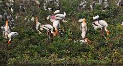Painted Storks  building nests! (Jehane*) Tags: india birds nikon nest chennai 2012 paintedstork jehane mycterialeucocephala buildingnests nikond5000 jehanephotography