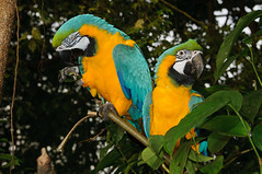 A happy couple: Blue-and-yellow macaw (Jim Skovrider) Tags: bird nature animal denmark zoo nikon natur nikkor macaw danmark ara regnskoven araararauna randers blueandyellowmacaw randersregnskov regnskov niksoftware sb900 adobephotoshoplightroom d300s sharpenerpro sharpenerpro30 nikond300s afsdxnikkor18200mmf3556gedvrii