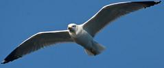Seagull (Angelo Pesce Ischia) Tags: island nikon alba ponte angelo ischia hdr pesce d5000