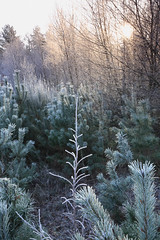 _44O7573 (ciollileach) Tags: trees light landscape frost atmosphere clumberpark