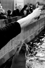 Day at the zoo 5 (Just a guy who likes to take pictures) Tags: amsterdam dutch europa europe holland nl nederland netherlands city metropol noordholland stad urban niederlande thenetherlands the holanda paysbas bw black white zw zwart wit schwarz weiss und en monochrome zwartwit blanco y negro natura artis magistra naturaartismagistra dier tier animal zeeleeuw zee leeuw fish vis food eten feed voeren mouth mond hap happie hapje honger hunger zeehond seal sea lion sealion jump candid people portrait dierentuin zoo tiergarten garten water wasser aqua voedertijd voederen essen