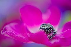 Spring Zing (Jacky Parker Photography) Tags: pink flower macro nature horizontal closeup garden landscape spring vibrant creative anemone single bloom softfocus orientation cerise windflower decaen floralessence
