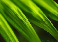 Emerald Blades (Vicky jg) Tags: plant abstract macro green nature leaves lines triangles close natural bright vibrant guatemala angles vert negativespace lush subtropical emerald blades positivespace parlourpalm chamaedoreaelegans parlorpalm neanthebellapalm southernmexico vickyjg vickyjgphotography