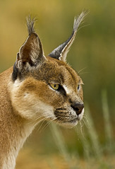 Caracal_6246 (Peter Warne-Epping Forest) Tags: africa african ngc npc namibia lynx caracal africat specanimal mothernaturesgreenearth