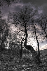 Bent Tree (baumbaTz) Tags: blackandwhite bw tree canon rebel kiss fisheye 8mm walimex hdr x3 500d 3xp fischauge samyang t1i