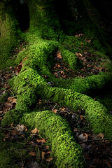 Roots and Moss (A blond-Tess) Tags: tree green nature contrast forest woodland leaf moss natur roots covered skog shape magical lurking mossa polarizingfilter mosscovered