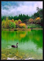 F_DDF_5081-Swan-天鵝-明池-Mingchi-山嵐-Fog-倒影-Reflection-馬告國家公園-Magau Naitonal Park-宜蘭縣-Yilan County-台灣-Taiwan-中華民國-Rep of China-Nikon D700-Nikkor 24-120mm (May-margy) Tags: travel reflection fog swan taiwan 台灣 旅行 倒影 天鵝 中華民國 明池 山嵐 nikkor24120mm mingchi 馬告國家公園 宜蘭縣 yilancounty nikond700 repofchina maymargy magaunaitonalpark 廖藹淳