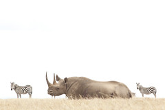 White Rhino at Solio (TheSafariCollection) Tags: kenya wildlife rhino endangered eastafrica threatened soliolodge