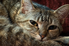 Lucy HDR (Light Echoes) Tags: pet animal cat lucy nikon kat feline gate chat gato katze  gatto hdr kot gat  moggy  d90  kalo