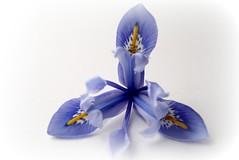 Miniture Blue Iris 2 ( Katie ann. Off more than on.) Tags: flickrsfantasticflowers