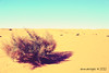 desert bush (emman.reyes) Tags: saudiarabia sandandsky desertbush almajmah emmanreyes