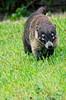 El tejón (searching food) (uhx72) Tags: look animal nice badger racoon coati tejon mapache procyon nasua