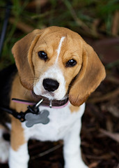 The Nose (Matthew Post) Tags: dog beagle canon puppy hound ears 100mm 60d scenthound