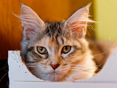 Portrait of a young Maine coon in the box (Tambako the Jaguar) Tags: portrait cute female cat switzerland big nikon feline funny box young kitty ears cardboard mainecoon carton breeder cattery d700 megacoons