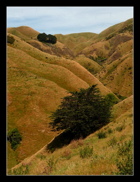 The lone tree, Belmont Regional Park, near Wellington