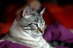 behind blue eyes (wang-lu) Tags: blue cat eyes pretty bonito gato felino