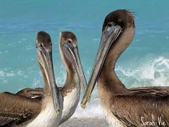 (Sarah-Vie) Tags: beach cuba pelican plage océan pélican pélicans varadéro