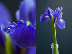 Iris diptych (~ Maria ~) Tags: flowers blue iris stilllife purple drop iridaceae ginordicjan12