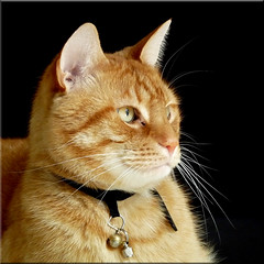 Time for Broer (Cajaflez) Tags: portrait orange pet cute cat ginger kat chat whiskers katze portret gatto gatti kater oranje tomcat broer snorharen abigfave kissablecat bestofcats catmoments 100commentgroup saariysqualitypictures mygearandme mygearandmepremium mygearandmebronze mygearandmesilver mygearandmegold mygearandmeplatinum ruby5 flickrstruereflection1
