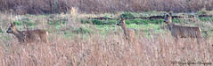 Project 366 day 34 (Roger Parker Photography) Tags: norfolk deer roedeer capreoluscapreolus stokeferry