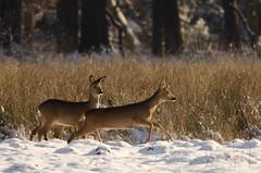 Roe Deer in the snow (FrankVl) Tags: winter nature wildlife roedeer kampina