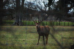 Scottish deer near Bridge of Earn (3.0s) Tags: nikon scottish deer 18200mm d40