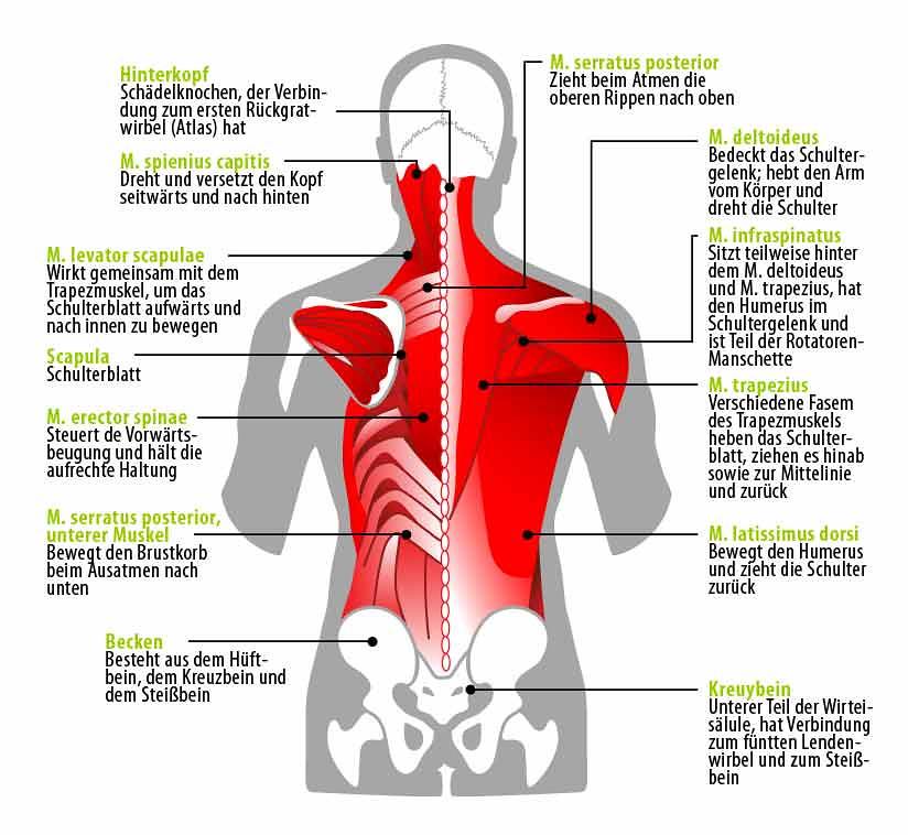 Fein Untere Anatomie Rückenmuskulatur Fotos - Menschliche Anatomie ...