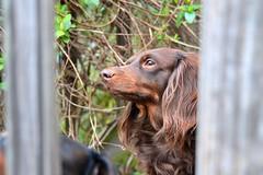 Great Profile (Tobyotter) Tags: dog chien pet hound canine dachshund perro hund link wienerdog dackel teckel k9 doxie sausagedog aplaceforportraits pointyfaceddog