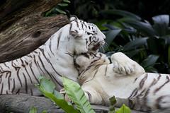 IMG_2473 (Marc Aurel) Tags: zoo singapore tiger tigre singapur whitetiger zoologischergarten singaporezoo weddingtrip hochzeitsreise bengaltiger pantheratigris zoologicalgarden königstiger pantheratigristigris royalbengaltiger pantheratigrisbengalensis weisertiger 5dmarkii eos5dmarkii indischertiger tigrebiancha