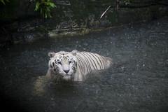 IMG_2543 (Marc Aurel) Tags: zoo singapore tiger tigre singapur whitetiger zoologischergarten singaporezoo weddingtrip hochzeitsreise bengaltiger pantheratigris zoologicalgarden königstiger pantheratigristigris royalbengaltiger pantheratigrisbengalensis weisertiger 5dmarkii eos5dmarkii indischertiger tigrebiancha