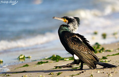 great cormorant (Mustafa Ahmad) Tags: bird birds canon eos great migratory cormorant 28 70200 seabirds   60d