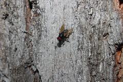 Mosca (Pedro A Boffa) Tags: inseto rvore mosca varejeira
