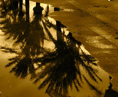 Puddle (MickyFlick) Tags: trees reflection tree puddle palmtrees mickyflick