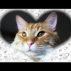 Be My Valentine  (Trish Hamme) Tags: texture cat valentine rumtumtugger bestofcats
