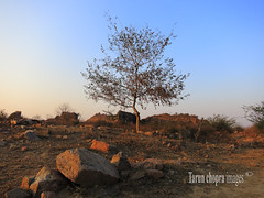 IMG_0055 Lonely Tree (Tarun Chopra) Tags: tree canon gurgaon s100 tughlaqabadfort canons100 canonpowershots100