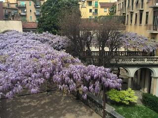 Il glicine fiorito di Palazzo Archinto (2 aprile 2014)